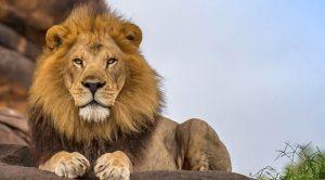 Lion Like Pride